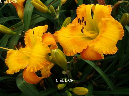 Thumbnail image of Hemerocallis CIEL D'OR
