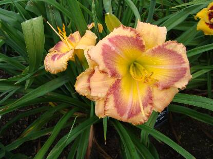 Thumbnail image of Hemerocallis CINDY'S CHOICE
