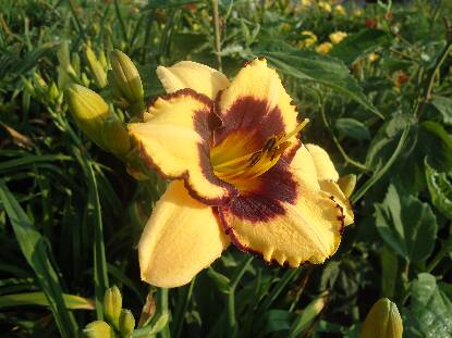 Thumbnail image of Hemerocallis CIRCLE OF FRIENDS