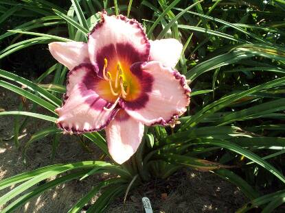 Full size photo of Hemerocallis CLASSIC EDGE