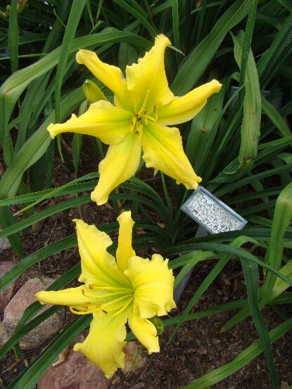Thumbnail image of Hemerocallis CLAWS