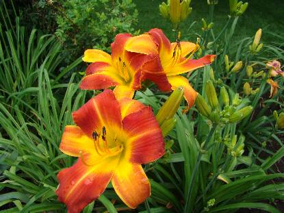 Thumbnail image of Hemerocallis CLOWN CAPERS