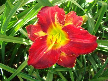 Thumbnail image of Hemerocallis COLLARD DREAM