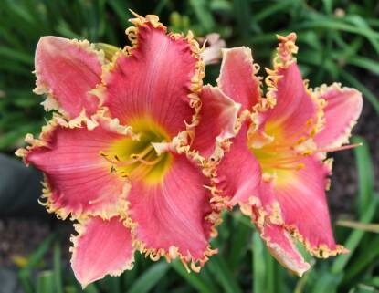 Thumbnail image of Hemerocallis COLLEEN RENE