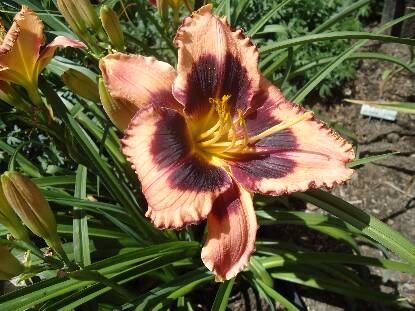 Thumbnail image of Hemerocallis CONVENTION GAZE
