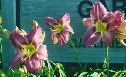 Thumbnail image of Hemerocallis COUNTRYMAN