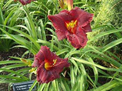Thumbnail image of Hemerocallis CRANBERRY COVE