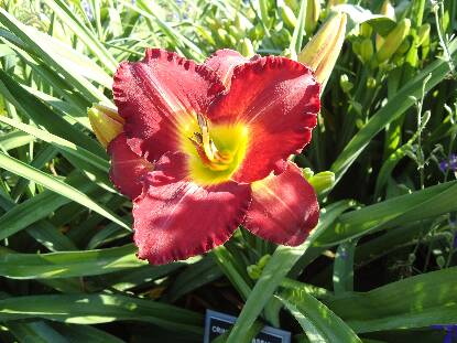 Thumbnail image of Hemerocallis CRIMES OF PASSION