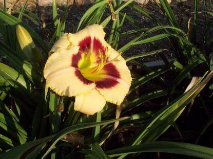 Thumbnail image of Hemerocallis CUSTARD CANDY
