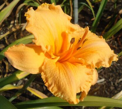 Full size photo of Hemerocallis DANCE BALLERINA DANCE