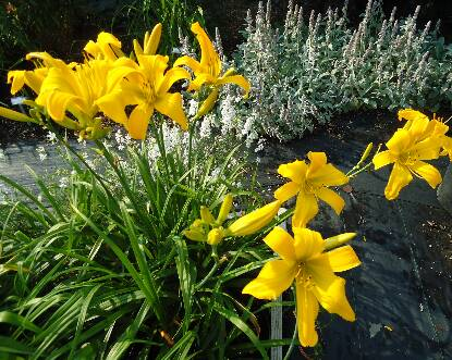 Thumbnail image of Hemerocallis DANCING LIONS