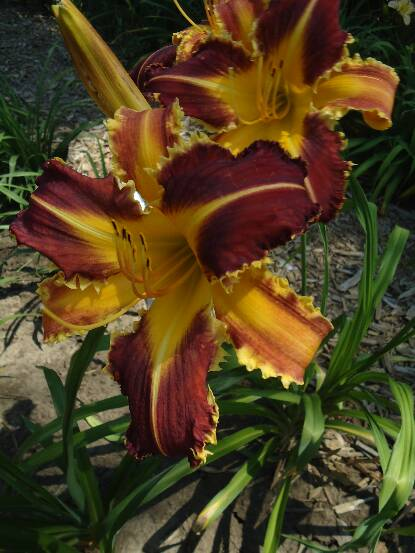 Thumbnail image of Hemerocallis DANGEROUS EXPECTATIONS