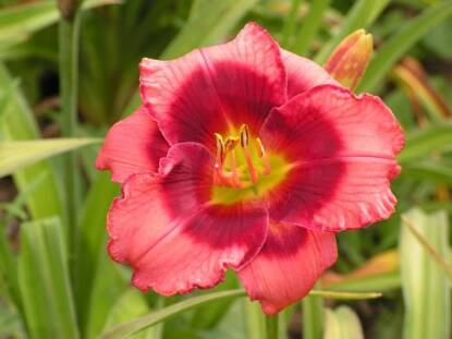Full size photo of Hemerocallis DAN MAHONY