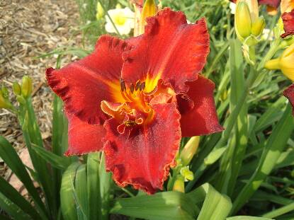 Thumbnail image of Hemerocallis DAVID L HANSEN