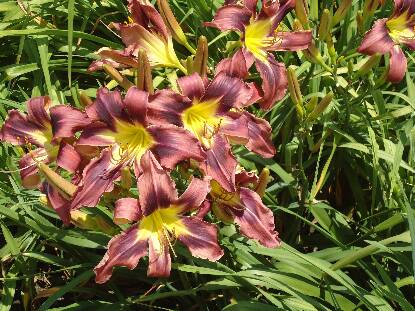 Thumbnail image of Hemerocallis DELTA FORCE