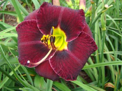 Thumbnail image of Hemerocallis DEN OF INIQUITY