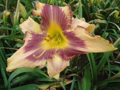 Thumbnail image of Hemerocallis DESIGNER RIBBONS