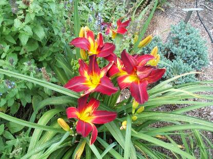 Thumbnail image of Hemerocallis DEVILS DELIGHT