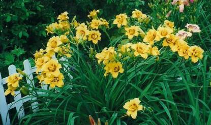 Thumbnail image of Hemerocallis DOUBLE DAFFY