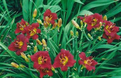 Thumbnail image of Hemerocallis DOUBLE TROUBLE