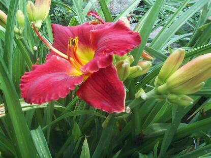Thumbnail image of Hemerocallis DOUG'S RED MERCEDES