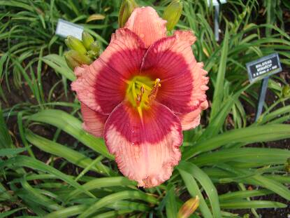 Thumbnail image of Hemerocallis DRAGONS EYE
