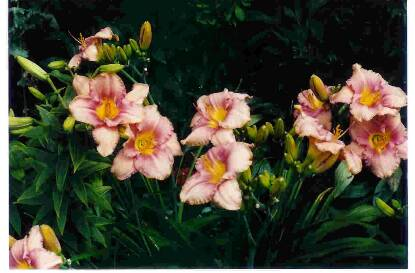 Thumbnail image of Hemerocallis DRIVING ME WILD