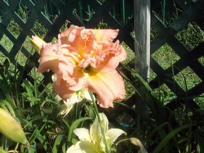 Full size photo of Hemerocallis DUBLIN ELAINE