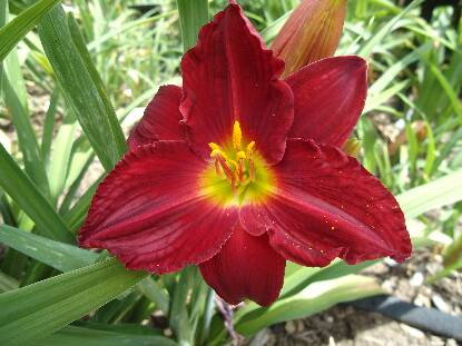 Full size photo of Hemerocallis HERE COMES SANTA CLAUS