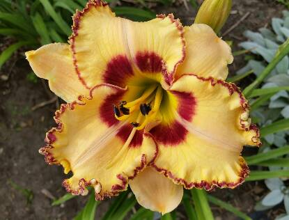 Full size photo of Hemerocallis KING OF THE AGES