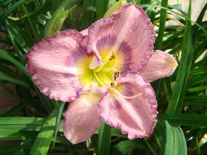Thumbnail image of Hemerocallis PALACE GARDEN BEAUTY