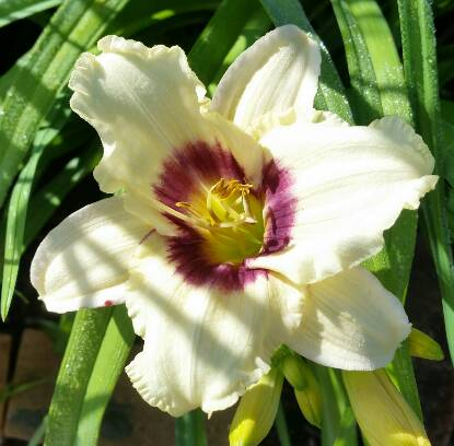 Thumbnail image of Hemerocallis PANDORA'S BOX
