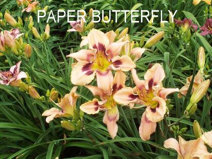 Thumbnail image of Hemerocallis PAPER BUTTERFLY