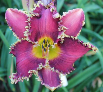 Full size photo of Hemerocallis PAPIO LEAH SERENITY