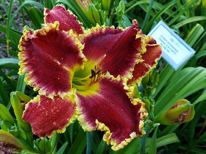 Thumbnail image of Hemerocallis PAPIO TREVOR THOMAS