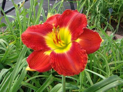 Thumbnail image of Hemerocallis PASSION FOR RED