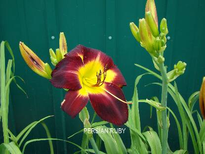 Thumbnail image of Hemerocallis PERSIAN RUBY