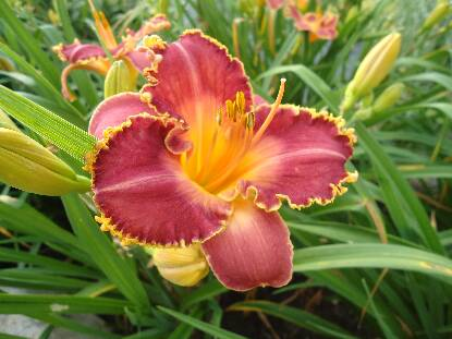 Thumbnail image of Hemerocallis PHOENIX RISING
