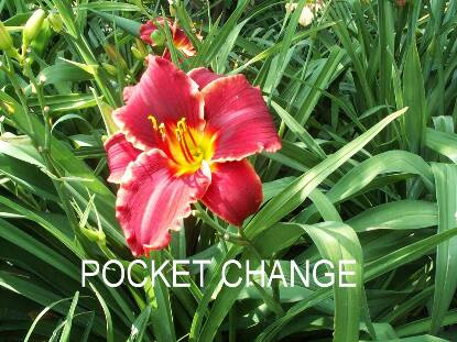Thumbnail image of Hemerocallis POCKET CHANGE