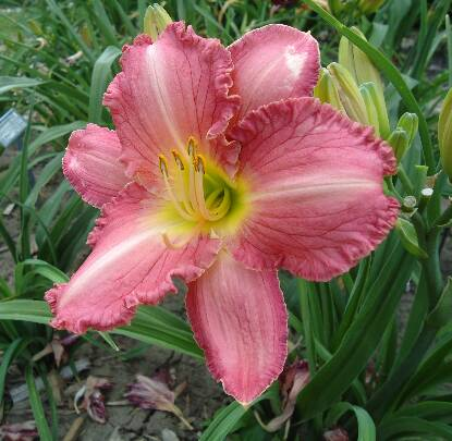 Thumbnail image of Hemerocallis POLAR ICE