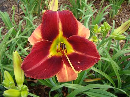 Full size photo of Hemerocallis PONCA BRAVE