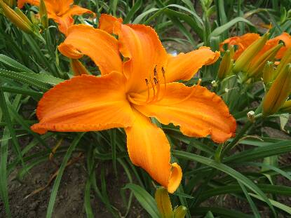 Thumbnail image of Hemerocallis PRIMAL SCREAM