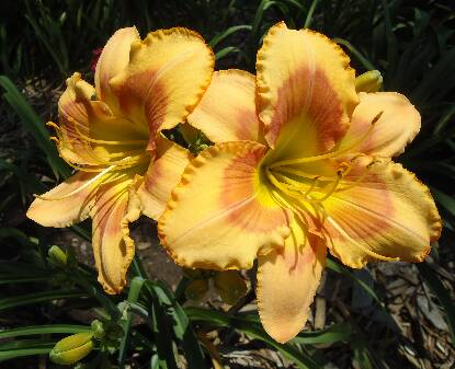 Thumbnail image of Hemerocallis PUPPYDOG KISSES