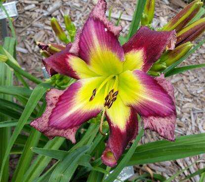 Thumbnail image of Hemerocallis PURPLE CHEETAH