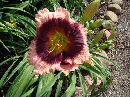 Thumbnail image of Hemerocallis PURPLE EYED MAGIC