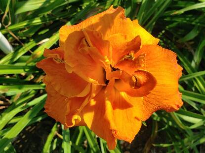 Thumbnail image of Hemerocallis PURSUIT OF PLEASURE