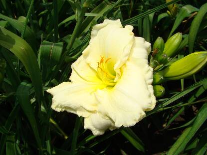 Thumbnail image of Hemerocallis QUAKER BONNET
