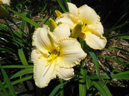 Thumbnail image of Hemerocallis QUALITY OF MERCY