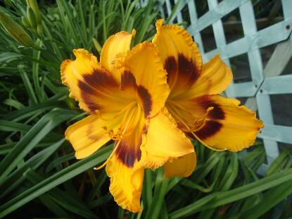 Thumbnail image of Hemerocallis RADIANT GREETINGS