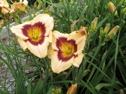 Thumbnail image of Hemerocallis RAINBOW CANDY